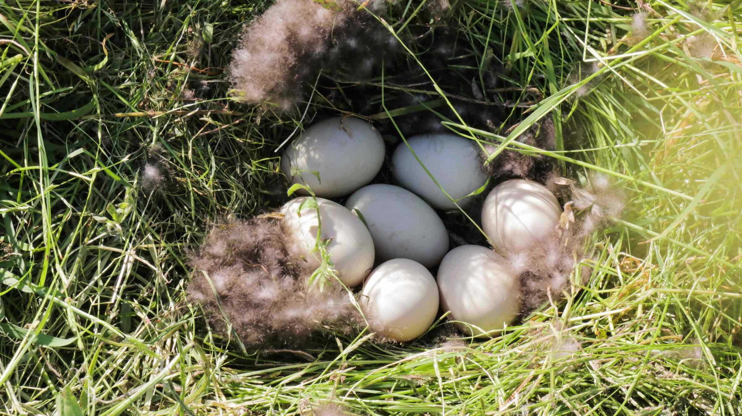 A mallard nest with seven eggs is uncovered in a field of cover crops at Lundberg Family Farms.