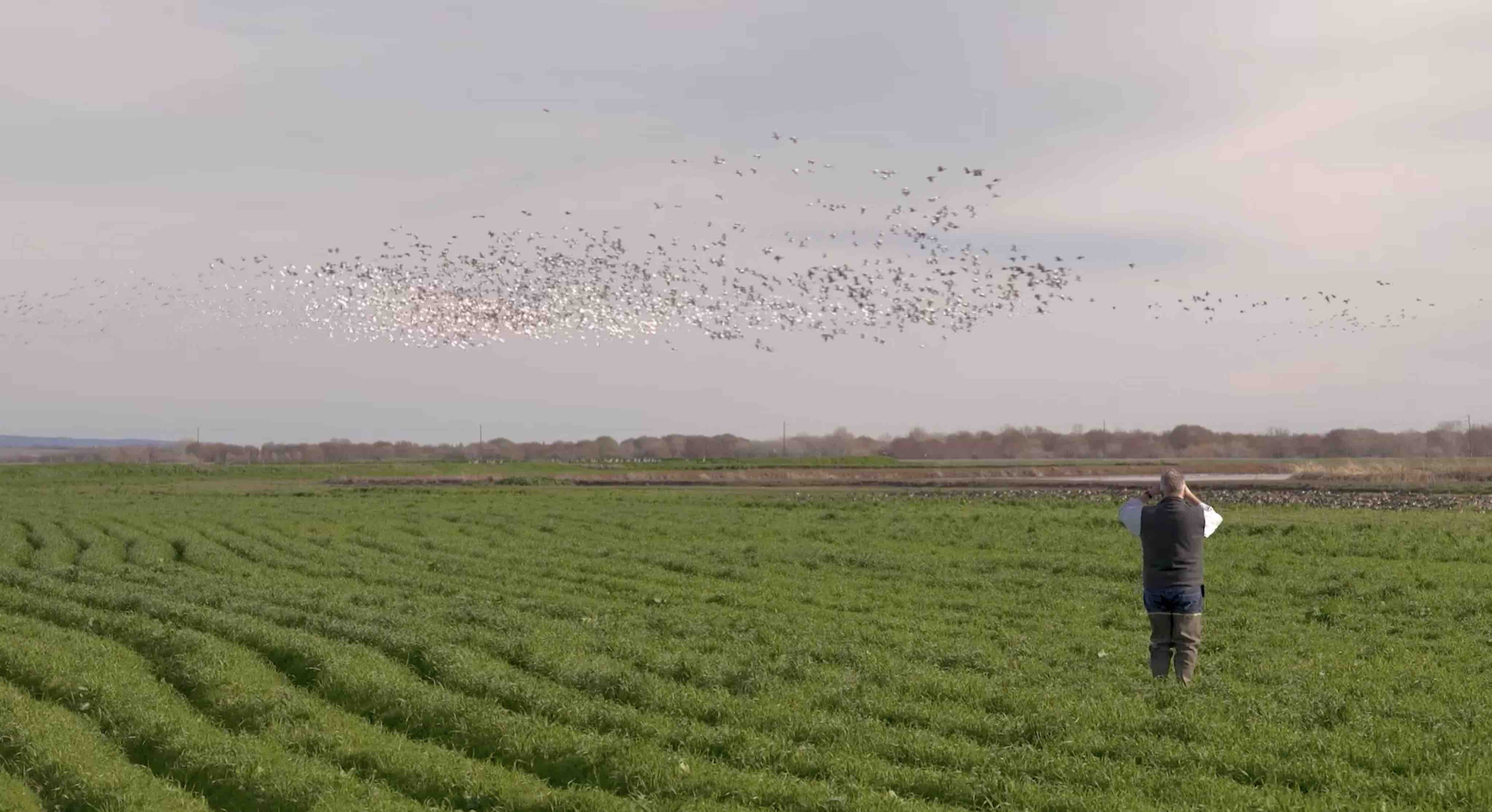 Bryce Lundberg birdwatches in a field of organic cover crops at Lundberg Family Farms.