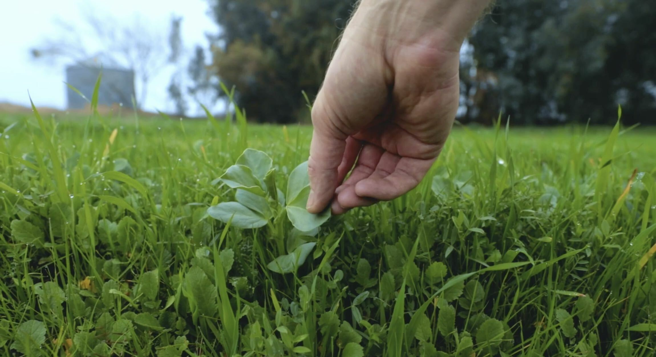 Organic cover crops grow at Lundberg Family Farms.